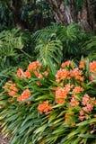 Цветки miniata Clivia Стоковые Фотографии RF