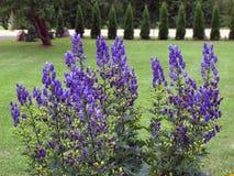 Цветки Monkshood Стоковое Изображение
