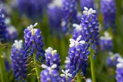 Цветки Muscari Стоковое фото RF