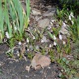 Цветки Muscari стоковое изображение