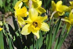 Цветки Narcissus Стоковые Изображения RF