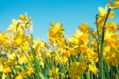 Цветки Narcissus Стоковая Фотография RF