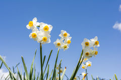 Цветки Narcissus Стоковое Фото
