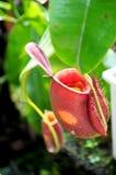 Цветки Nepenthes стоковые фото
