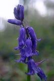 Цветки non-scripta Hyacinthoides Bluebell стоковые изображения rf