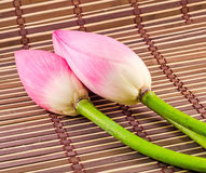 Цветки nucifera Nelumbo, конец вверх, изолированная, деревянная предпосылка Стоковое Изображение RF