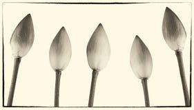 Цветки nucifera Nelumbo, конец вверх, изолированный, винтажный стиль с границей Стоковое Фото