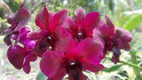 Цветки Orquid в Шри-Ланке Стоковые Фотографии RF