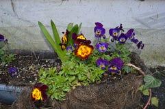 Цветки Pansey стоковые изображения