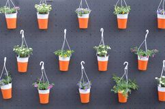 Цветки Pansies в вися баках в магазине, предпосылке весны стоковая фотография rf