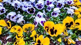 Цветки pansy Кашмира Стоковые Изображения