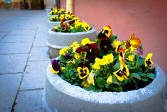 Цветки Pansy. Стоковая Фотография