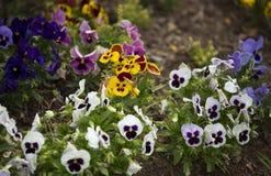 Цветки Pansy Стоковые Изображения