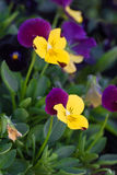 Цветки Pansy Стоковые Фотографии RF