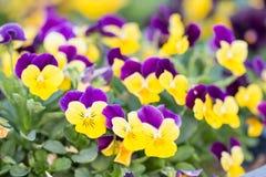 Цветки Pansy Стоковая Фотография