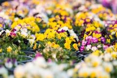 Цветки Pansy Стоковое Изображение RF