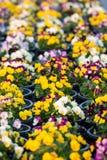 Цветки Pansy Стоковое Изображение