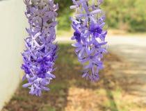 Цветки Petrea Стоковые Фото