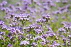 Цветки phacelia цветения Стоковое Изображение RF