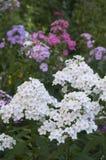 Цветки phlox сада стоковое изображение rf