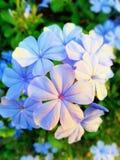 Цветки Plumbaginaceae стоковые изображения rf