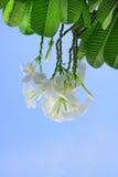 цветки plumeria белые Стоковые Фотографии RF