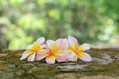Цветки Plumeria, красивая белизна Стоковая Фотография