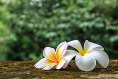 Цветки Plumeria, красивая белизна Стоковые Изображения RF