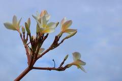Цветки Plumeria на голубом небе с облаком Стоковое Изображение RF