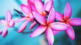 Цветки Plumeria Перекрестный отростчатый стиль Стоковые Фото