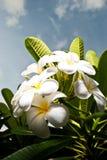 Цветки Plumeria Стоковое фото RF