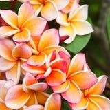 Цветки Plumeria Стоковое Изображение