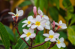 цветки plumeria Стоковое Фото