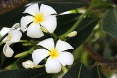 Цветки Plumeria Стоковая Фотография RF
