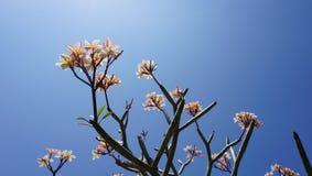 Цветки Plumeria стоковые изображения