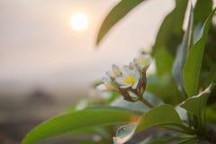 Цветки Plumeria Стоковое Изображение RF