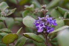 Цветки Pohinahina после дождя Стоковое фото RF