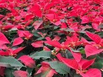 Цветки Poinsettia поля красные стоковая фотография rf