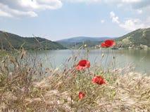 Цветки Ponceau Стоковые Фотографии RF