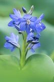 Цветки Pontederiaceae Стоковое Изображение