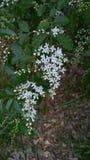 Цветки Privet Стоковая Фотография RF