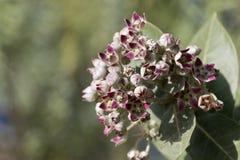 Цветки procera Calotropis куста яблока Sodom стоковые фотографии rf