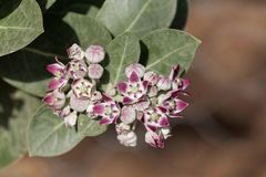 Цветки procera Calotropis куста яблока Sodom стоковые изображения rf