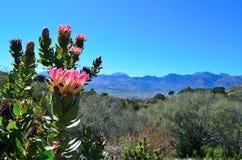 Цветки Protea в цветени стоковые изображения