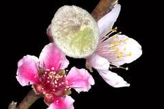 Цветки Prunus Persica персика и бутон плодоовощ Стоковое Изображение