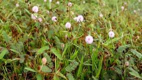 Цветки pudica мимозы на красивом утре акции видеоматериалы