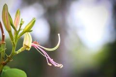 Цветки purpurea Стоковая Фотография