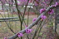 Цветки racemosa Cercis (CercischinensisBge) Стоковое Изображение RF