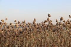 Цветки Reed в холодном ветре Стоковые Изображения RF