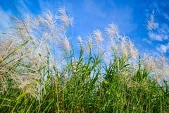 Цветки Reed Стоковые Изображения